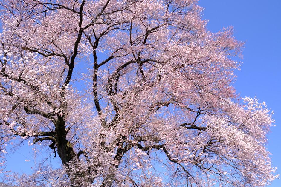 わに塚の桜。