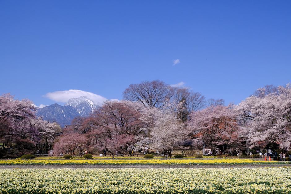 実相寺。水仙と桜と甲斐駒ヶ岳