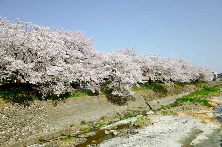 南浅川の桜