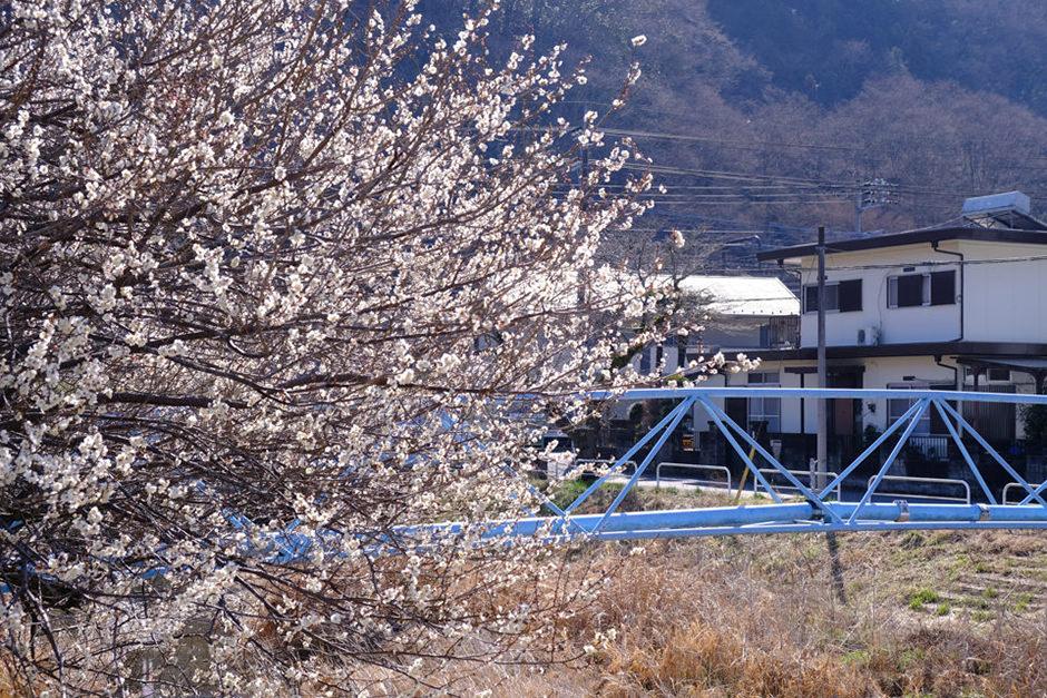 遊歩道梅林の梅