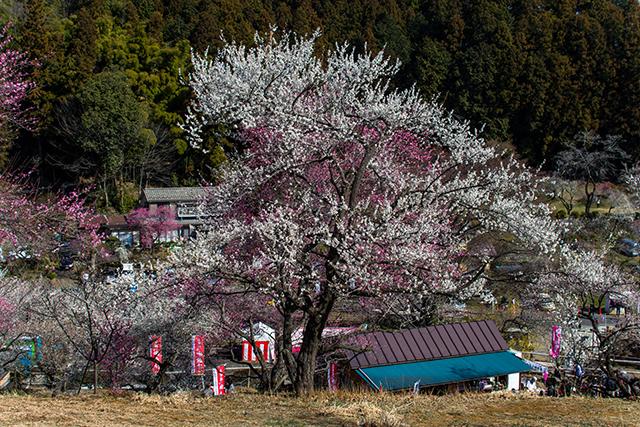 青梅市梅の公園の梅