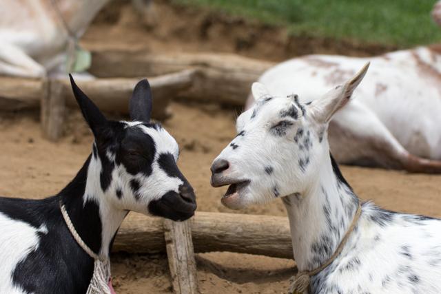 彩の国ふれあい牧場のヤギ