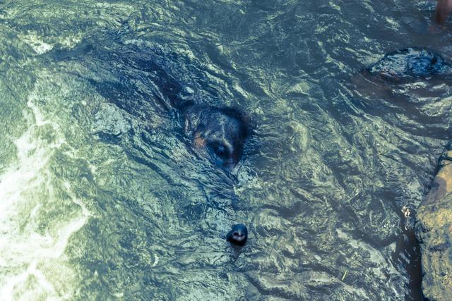 水の中に潜る子ゾウ
