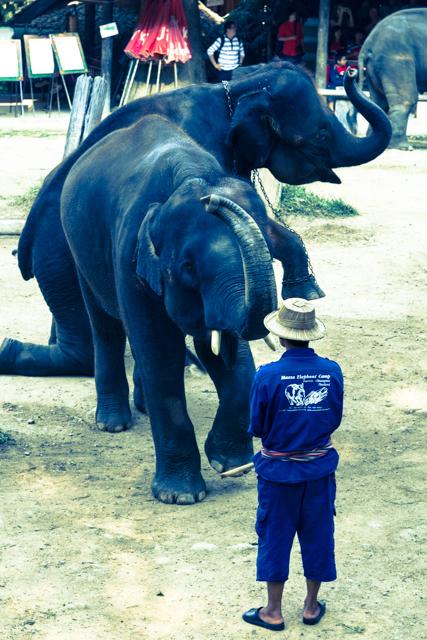 象使いの防止を取ろうとするゾウ