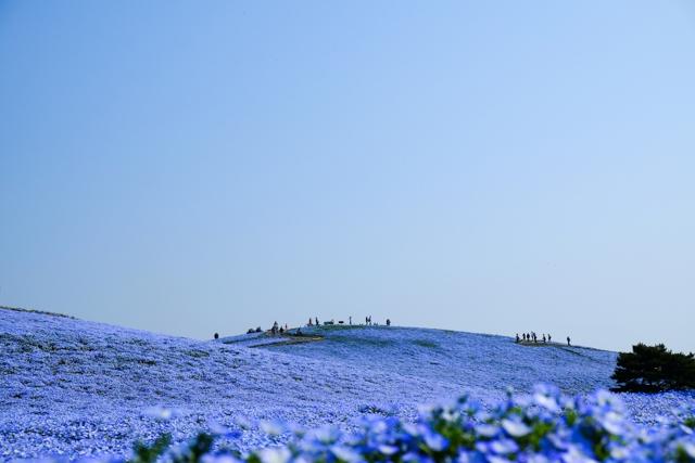 国営ひたち海浜公園のネモフィラ