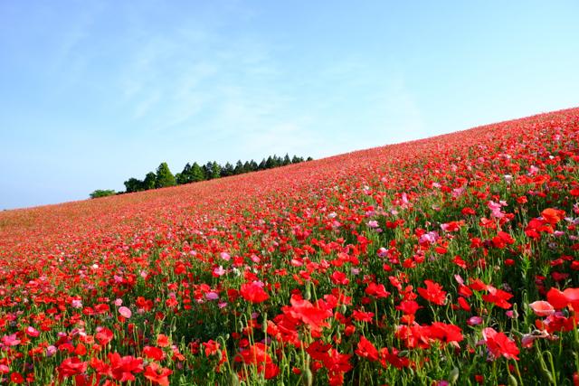 天空を彩るポピーまつりのポピー畑