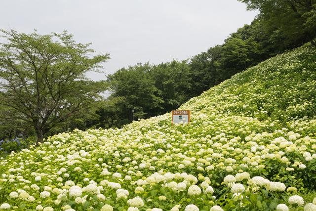 東京サマーランドあじさい園のアナベルの雪山