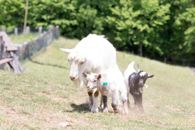 彩の国ふれあい牧場のヤギの親子