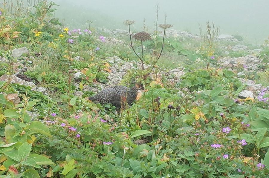 唐松岳頂上山荘の雷鳥