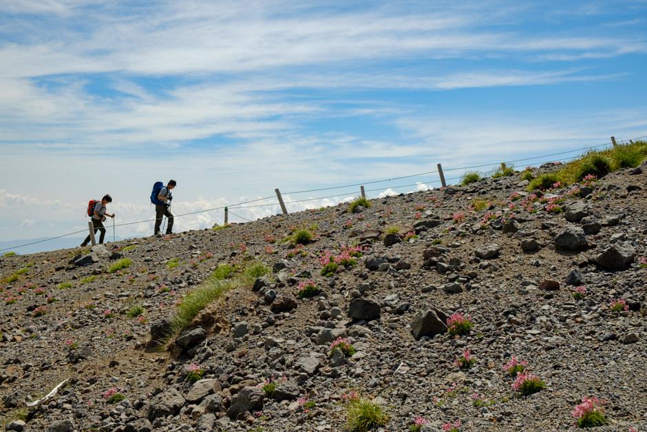富士見岳へ登る登山者とコマクサ